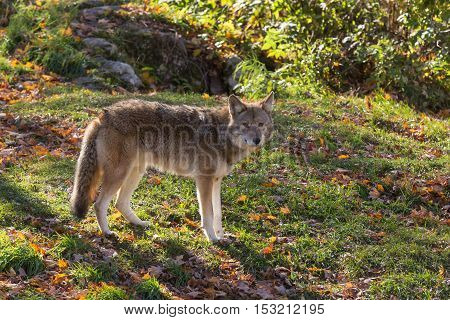 A lone Coyote in a fall forest