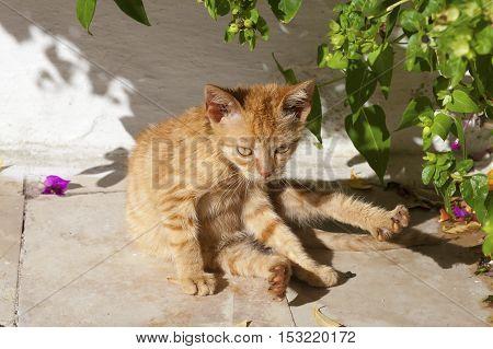 Ginger street kitten washing under a tree