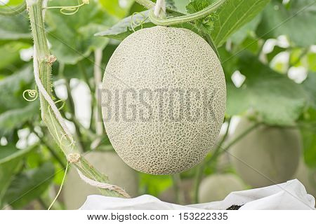 Melon or Cantaloupe fruit hanging in plant nursery.Agricultural concept.