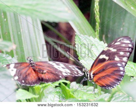 Tiger Longwing Butterfly in garden of Niagara Falls Canada July 16 2016