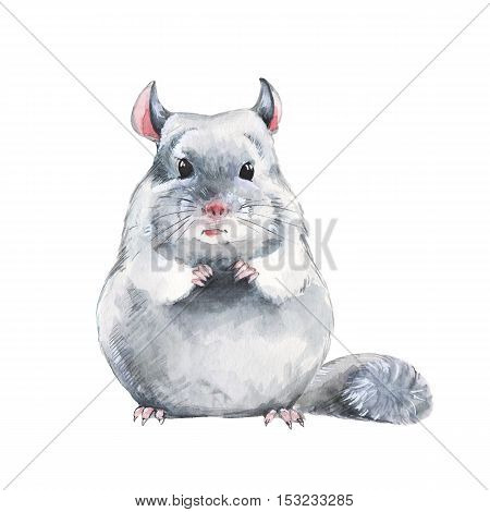 Chinchilla 1. Watercolor illustration, isolated on white