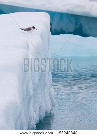 Birdlife In Jokulsarlon, A Large Glacial Lake In Iceland