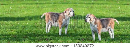 Two young brown white dog on a green meadow