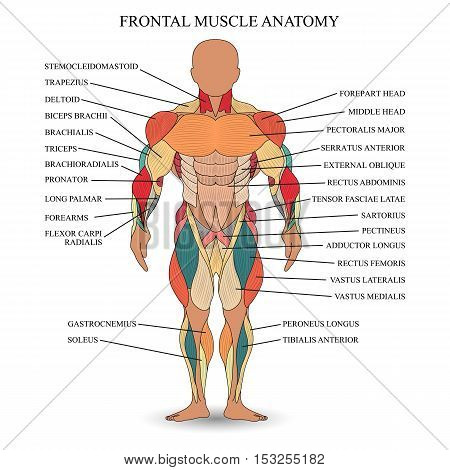 Anatomy of human muscles in the front a template for medical tutorial banner. Vector illustration.