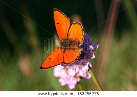 Male Lycaena Dispar In All Its Glory