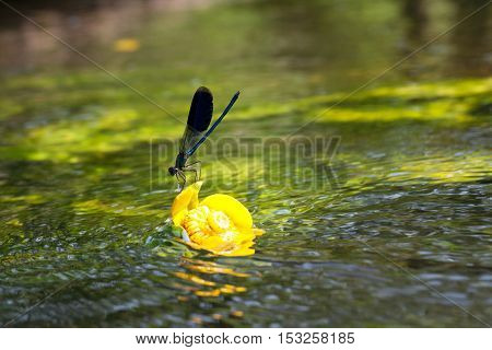 Yellow Water Lily On The River With Dragonfly