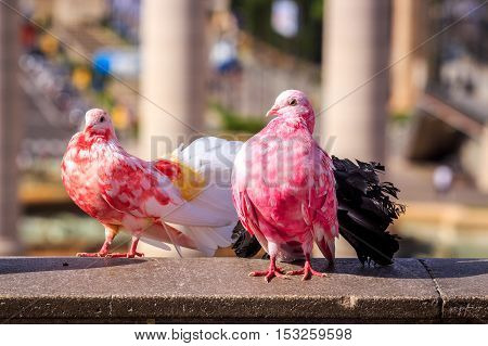 Two Colorful Pigeons
