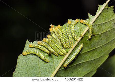 Moth Caterpillars In Nature