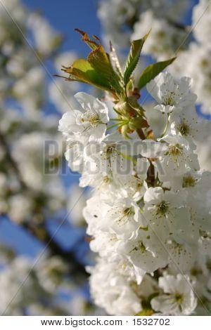 Spring Tree Blossom Flower