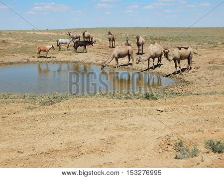 Camels stand and drink from puddles in the desert.