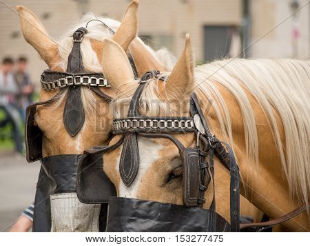 Portrait of a pair of light brown horses with blonde hair as well leather tack on the streets of Berlin Germany. Travel and tourism concept.