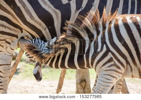A baby zebra (Equus quagga) suckles its mother's milk. Wildlife and conservation concept.