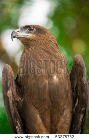 Close-up of a black kite (Milvus migrans) posing majestically while perching. Birding and falconry concept.