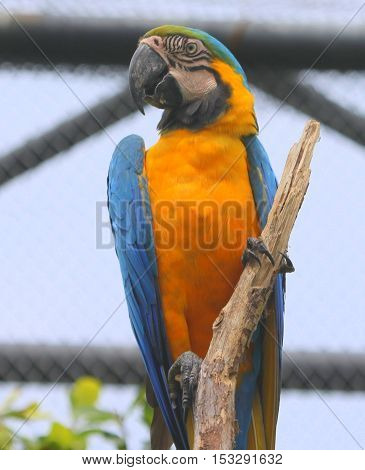 Blue and Gold Macaw head and body, facing camera, head turned left, clinging to a vertical branch in a large aviary