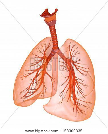 Human lungs and trachea. Medically accurate 3D illustration