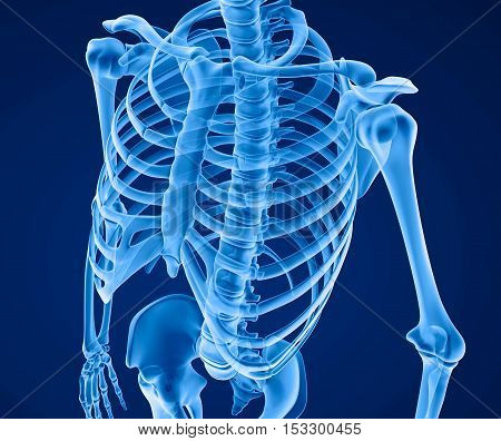 Human skeleton: breast chest. Front view. Medically accurate 3D illustration