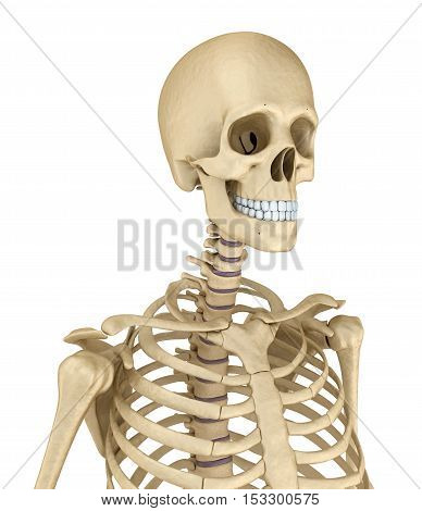Torso of human skeleton isolated. Medically accurate 3d illustration .