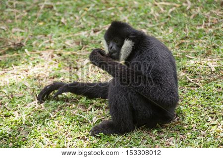 Black cheeked gibbon or Lar gibbon sitting on the grass poster