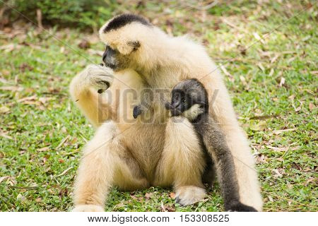 Baby Gibbon suckling from mother / Family Gibbon on the garden