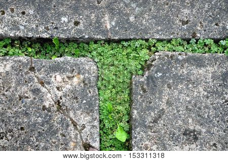 Gray concrete pavement with sprouting green grass through the paving. Urban background texture. Close up.