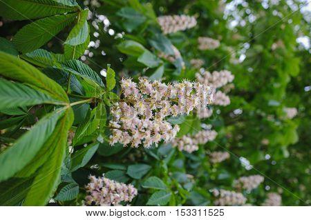 Blossoming chestnuts. Castanea sativa. Shallow depth of field.