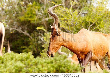 Red Hartebeest Walking Head Down