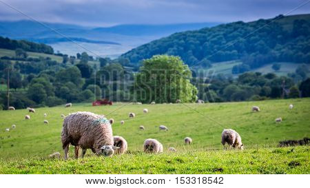 Herd Of Sheep On Green Pasture In District Lake, England