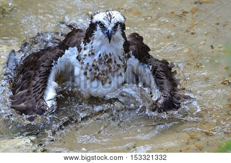 An osprey bird splashing about in shallow waters.