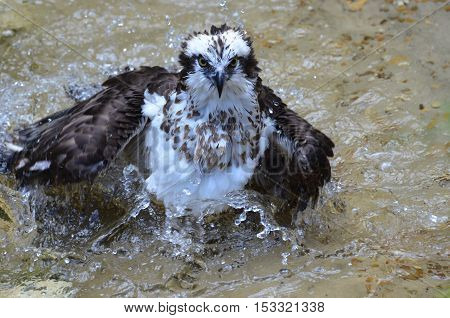 River hawk also known as an osprey bathing in shallow waters.