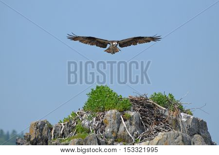 Osprey bird with this wings extended over a nest.