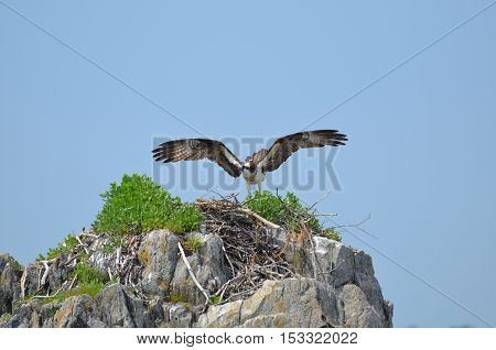 Osprey bird landing on a ledge nest.