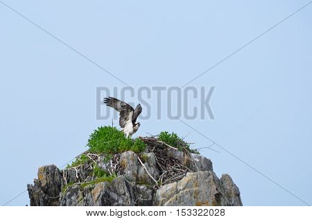 Osprey bird sitting on a ledge in Casco Bay Maine.