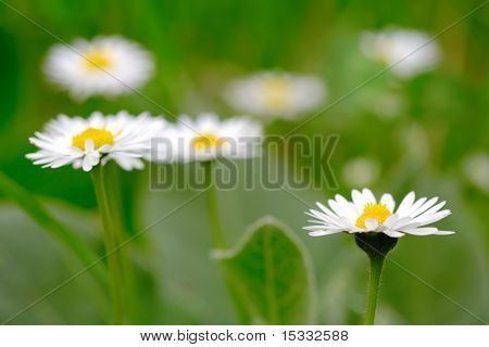 Daisy flowers in the field poster
