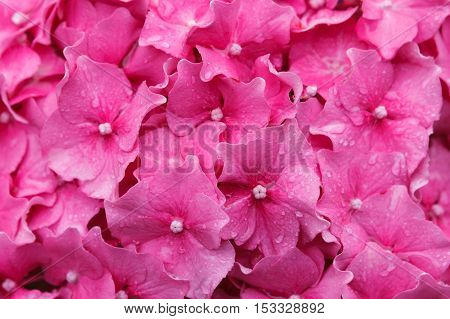 pink hydrangea with raindrops. Floral background texture.Soft focus selective focus