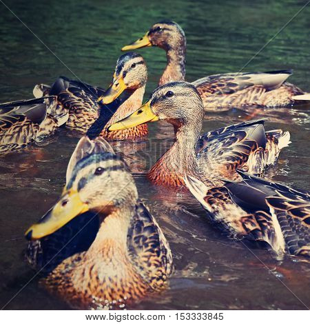 Wild duck chick (Anas platyrhynchos) Beautiful nature pictures of animals living in the wild.
