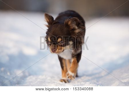 adorable brown chihuahua dog outdoors in winter