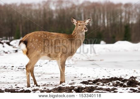 young deer walking outdoors in winter in the zoo