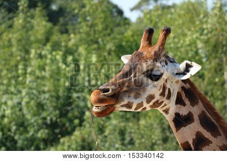 Detail of giraffe head eating branch open mouth teeth visible defocused greenery in background Rothschild's giraffe (also known as Baringo giraffe or Ugandan giraffe)