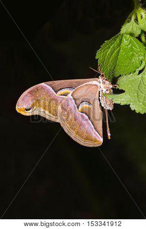 Samia Canningi Moth