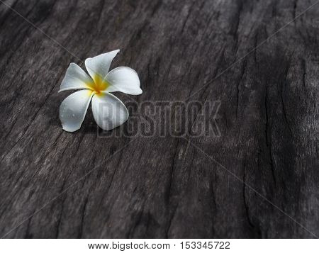 Single Plumeria flower on dark tone wooden floor.