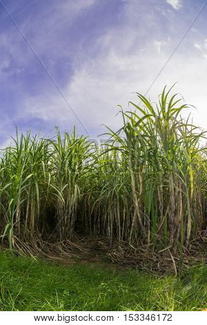 Sugarcane field with blue sky.Sugarcane raw material of sugar and biofuel or Ethanol.