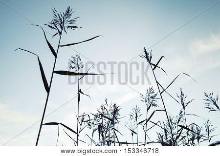 Coastal Reed Over Blue Sky Background