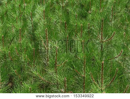 Many twigs of Crimean pine coppice with long needles are in bright sunlight as nature background.