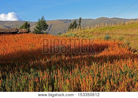 Red and yellow quinoa field in the andean highlands of Peru near Cusco