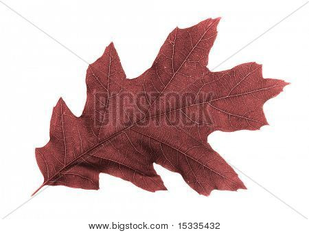 red leaf isolated on white