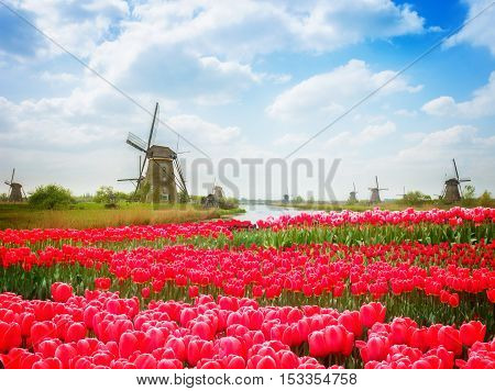 dutch windmills over canal and field of pink tulips, Holland, retro toned
