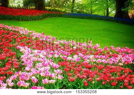 grass lawn with pink and red tulips in dutch garden 'Keukenhof', Holland, retro toned