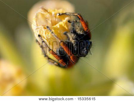orangelegs spider on the flower