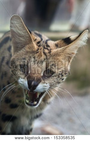 Serval (Leptailurus serval), also known as the tierboskat. Wildlife animal.