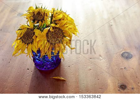 Wilted and weathered sunflowers in a blue glass vase.
